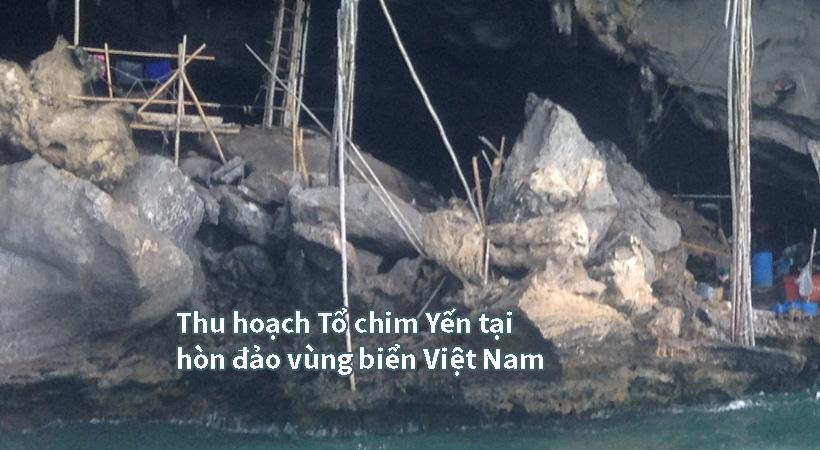 Thu gom tổ yến tại đảo biển Việt Nam
